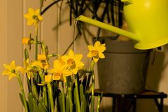 Watering daffodils easter flowers. Watering easter daffodils lily with a can Stock Photography