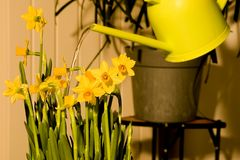 Watering daffodils easter flowers. Watering easter daffodils lily with a can Royalty Free Stock Photography