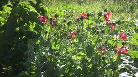 Watering Danish cross poppies, 4K stock video
