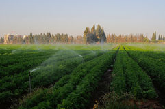 Watering field carrots Royalty Free Stock Image