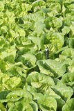 Watering a field of Cos Lettuce. Royalty Free Stock Photography