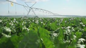 Watering field. Shot of irrigation sprayer irrigating cultivated Sugar beet fields.