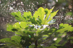 Watering a fig tree outdoor in sunny day. Watering a fig tree outdoor in sunny day,sunlight reflect on the fig leaves Stock Images