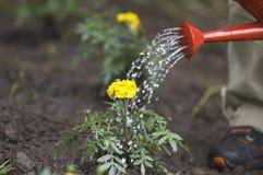 Watering flower. Boy watering flower Stock Images