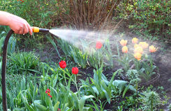 Watering the flower beds with tulips from the hose Stock Images