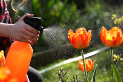 Watering, flower garden - beautiful girl watering tulips Stock Photography