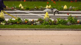 Watering a flower lawn in the park stock photos
