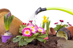 Watering flowers. Studio-shot of watering a flowerbed with various flowers and a green watering can, isolated on white Royalty Free Stock Photo
