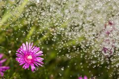 Watering flowers. Water beads falling on Purple Ice Plant Flower Royalty Free Stock Photos