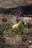 Watering the flowers. Watering the flower from a watering can Royalty Free Stock Images