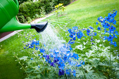 Watering flowers on garden, with green watering can Stock Photos