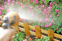 Watering flowers with a garden hose. Watering pink flowers with a garden hose royalty free stock images