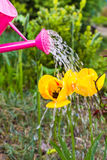 Watering flowers spring garden watering can Royalty Free Stock Images