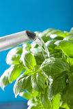 Watering fresh basil leaves herb Royalty Free Stock Image