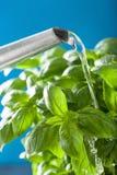 Watering fresh basil leaves herb royalty free stock image
