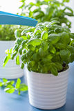 Watering fresh basil leaves herb royalty free stock photography
