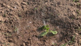Watering fresh pumpkin seedling in garden with watering-can Stock Photos