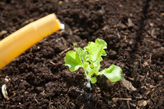 Watering a freshly planted lettuce seedling Stock Image