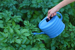 Watering a Garden. Close up view of someone watering their garden of russet potato plants Stock Images