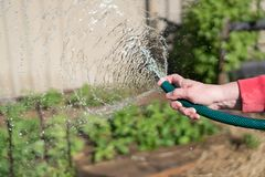 Watering garden equipment - woman's hand clamps a hose for watering plants. Gardener with watering hose and sprayer water on the. Vegetable royalty free stock image
