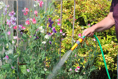 Watering garden with hose pipe. Stock Photo