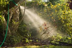 Watering with a garden hose, sunlight catching the spray stock photos