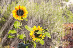 Watering the garden with sunflowers Stock Photo