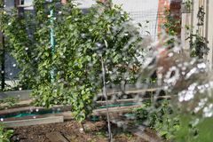 Watering garden trees, the flow of water is out of focus against the background of pear growing in the garden.  stock photo