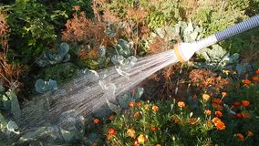 Watering the garden with. A hose stock footage