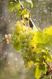 Watering grapes artificial rain Stock Images