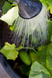 Watering green cucumber plant. Stock Photos