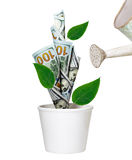 Watering green dollar tree growing in white pot. Isolated on white. Financial growth concept Royalty Free Stock Photography
