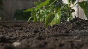 Watering green pepper plant in a garden, slow motion, ground level. Urban gardening.