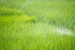 Watering green rice paddy field agriculture in asia beautiful. Background royalty free stock images