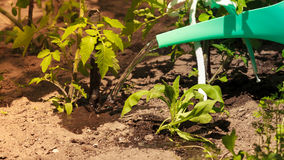 Watering green tomato plants in greenhouse Stock Photo
