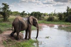 Watering Hole Elephant royalty free stock image
