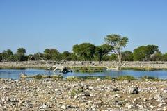 Watering Hole - Etosha, Namibia Stock Photos