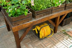 Watering hose in a roll under a table in a greenhouse. Yellow watering hose in a roll under a table in a greenhouse with flowers stock photos