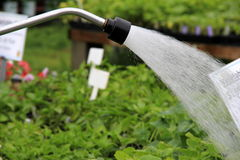 Watering hose with soft spray hitting plants Royalty Free Stock Images