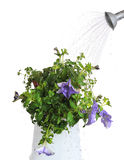 Watering house plants Stock Image