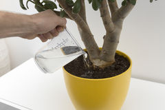 Watering indoor plant Royalty Free Stock Images