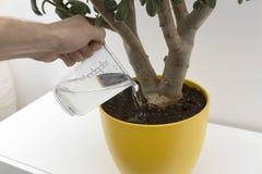 Watering indoor plant. Hand watering indoor plant in big flower pot Royalty Free Stock Images