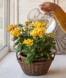 Watering large-yellow chrysanthemum in pot Royalty Free Stock Images