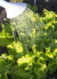 Watering in the lettuce garden Stock Image