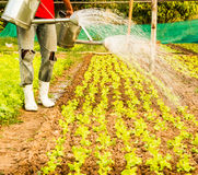 Watering the lettuce Royalty Free Stock Images