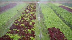 Watering lettuce plants. The green watering lettuce plants stock footage