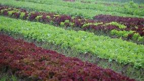 Watering lettuce plants. The green watering lettuce plants stock video footage