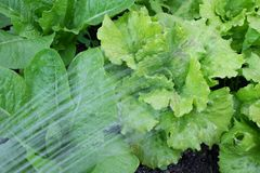 Watering lettuces - summer gardening with water from hose. Lettuce varieties are Cos Romaine and Michelle. Watering lettuces - summer gardening with water from stock image