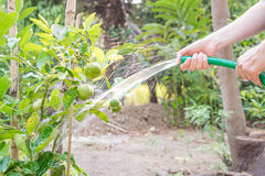 Watering lime tree. Women watering lime tree in the garden stock photos
