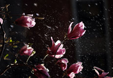 Watering Magnolia. In the black background Stock Photo
